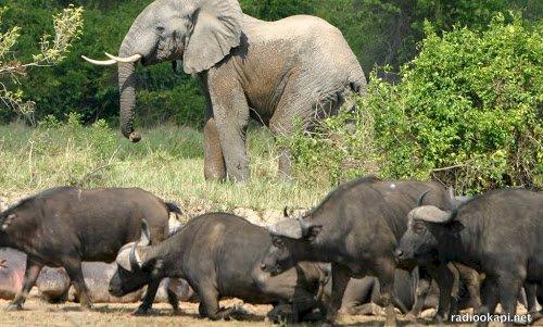 Tanganyika : les éléphants dévastent des champs à Kiluba