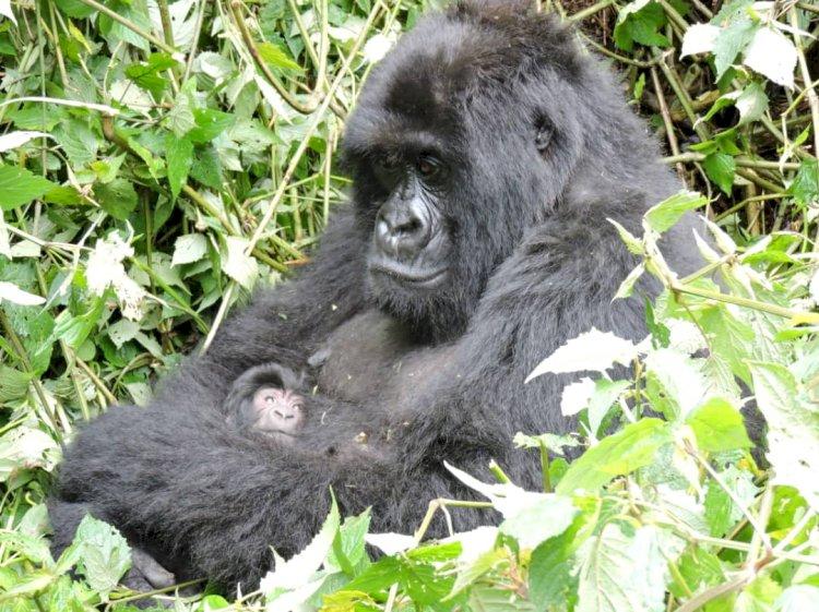 Parc national des Virunga : L'équipe de monitoring confirme la naissance d'un nouveau gorille.