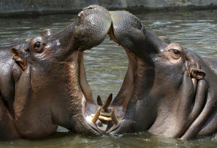 Lac Édouard : Des hippopotames tuent deux pêcheurs Congolais à Kyavinyonge.